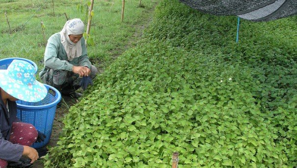 Dokudami - Sustainable Farming for a Sustainable World