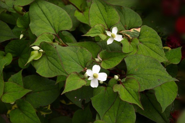 Use Houttuynia cordata to stop garlic breathe