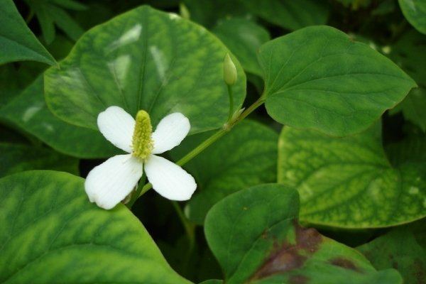 Houttuynia cordata in rural Japan