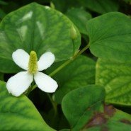 Homemade Houttuynia Cordata Lotion